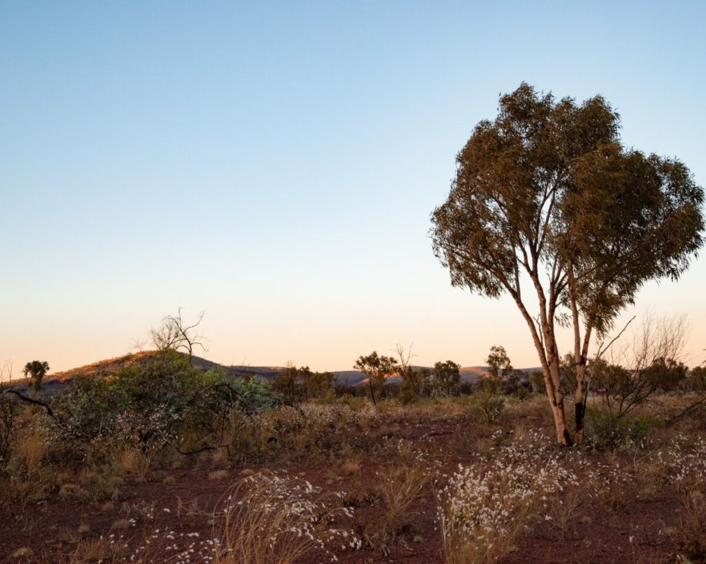 Wildflowers at sunset close to Dales Campground in Karijini National Park