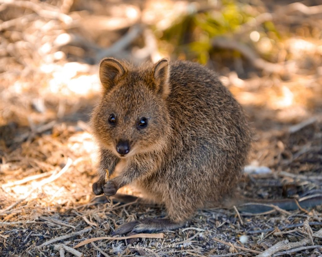 A baby quokka which is one of the marsupials you can only find in Australia. It is one of the cutest animals in Oceania.