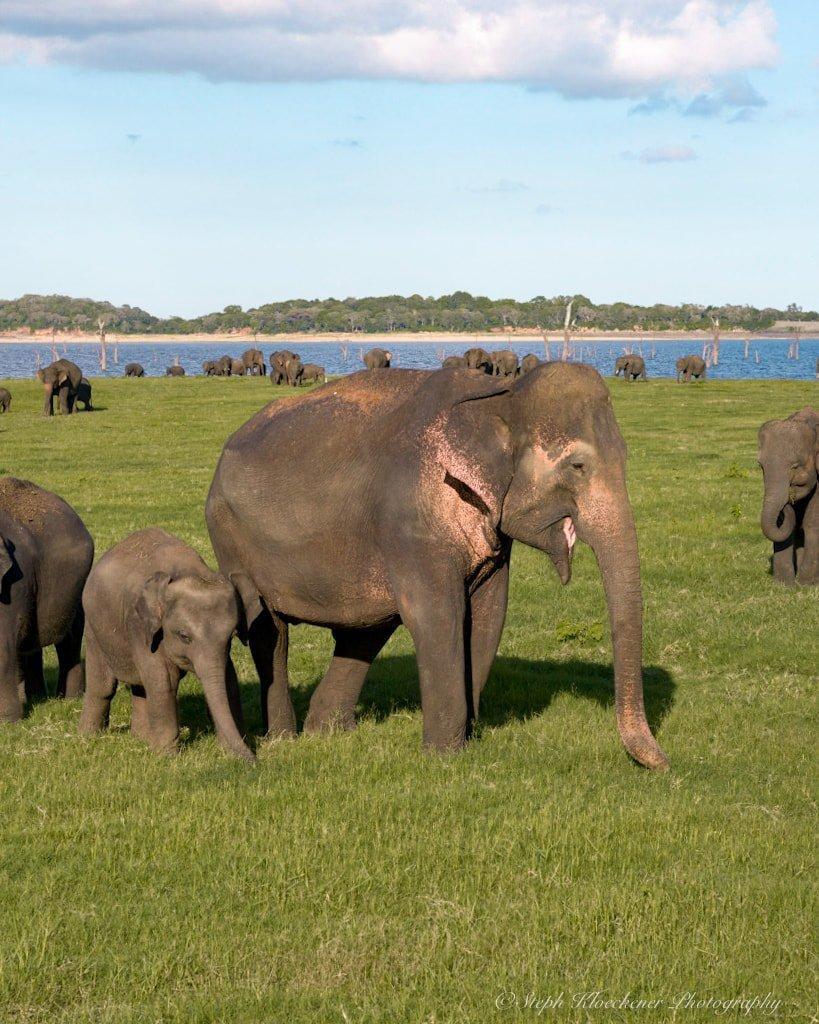Elephants family seen during a safari with Minneriya Safari Tours