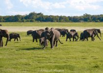 Elephant Safari with Minneriya Safari Tours – Honest Review
