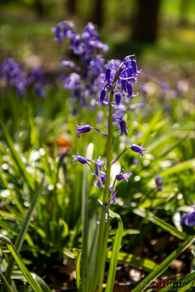 Closeup of a bluebell in one of the bluebell forests in Germany