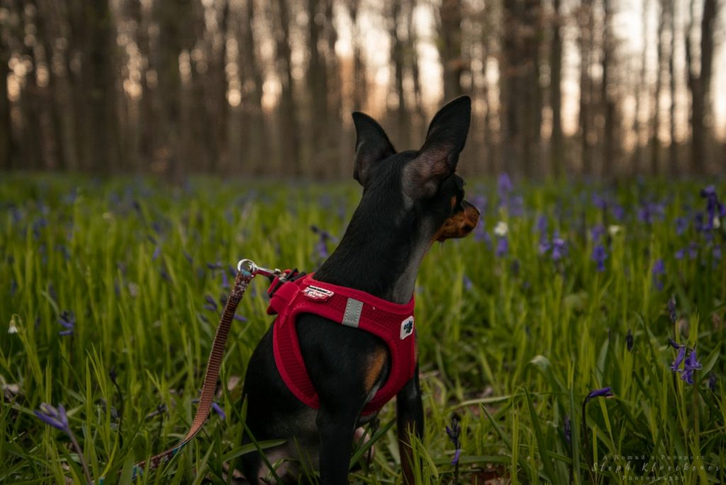 dog in front of bluebells