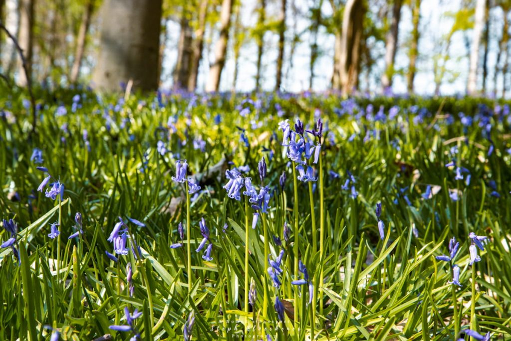 magical bluebells in the sunlight