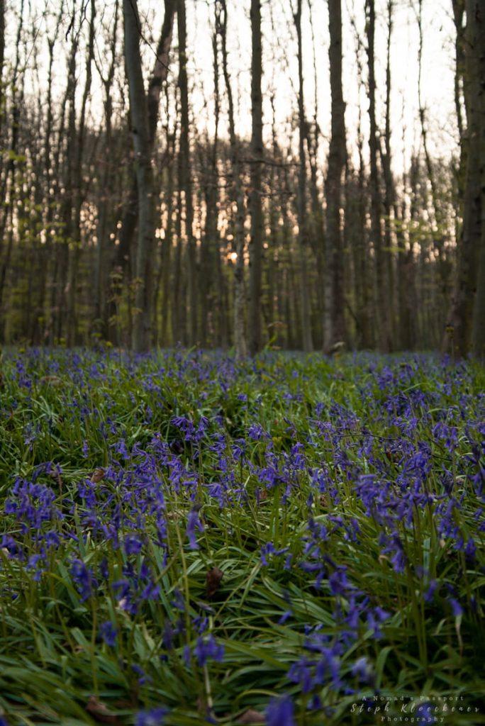 Thousands of bluebells