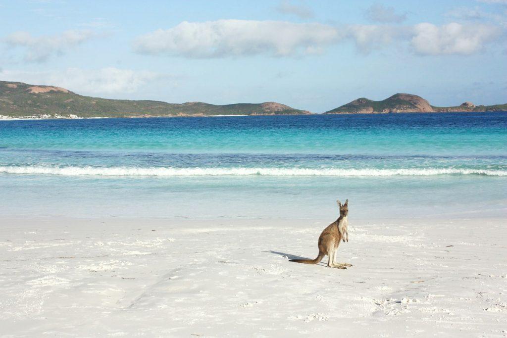 Kangaroo on Lucky Bay beach in one of Western Australia's national parks