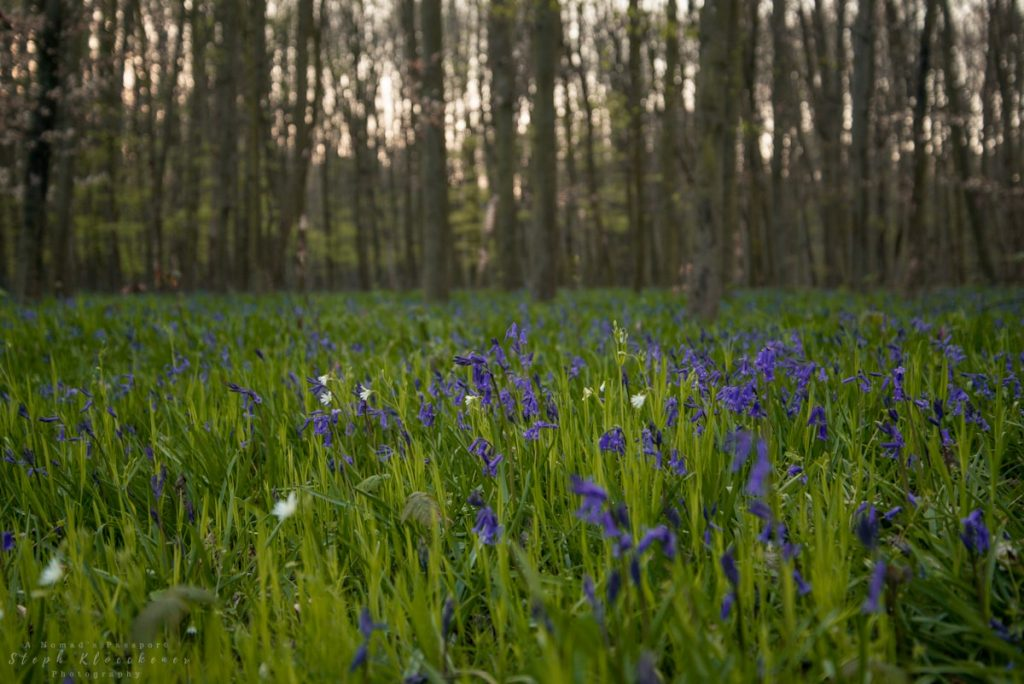 Bluebells in Germany