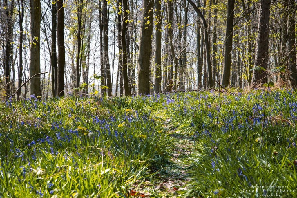bluebell forest in Germany