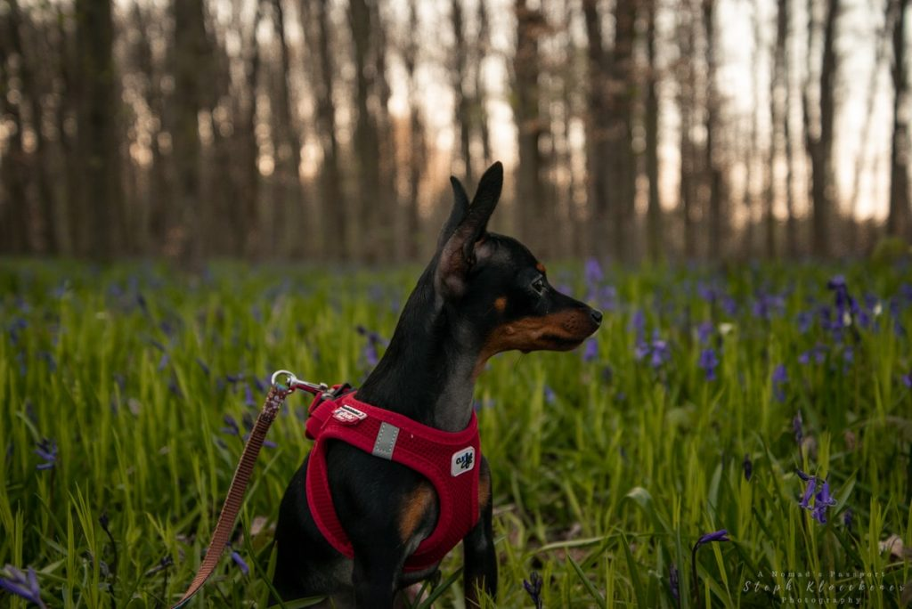 dog in one of Germany's bluebell forests