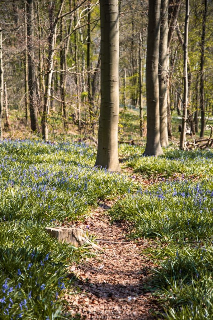 Path through bluebell forest in Germany