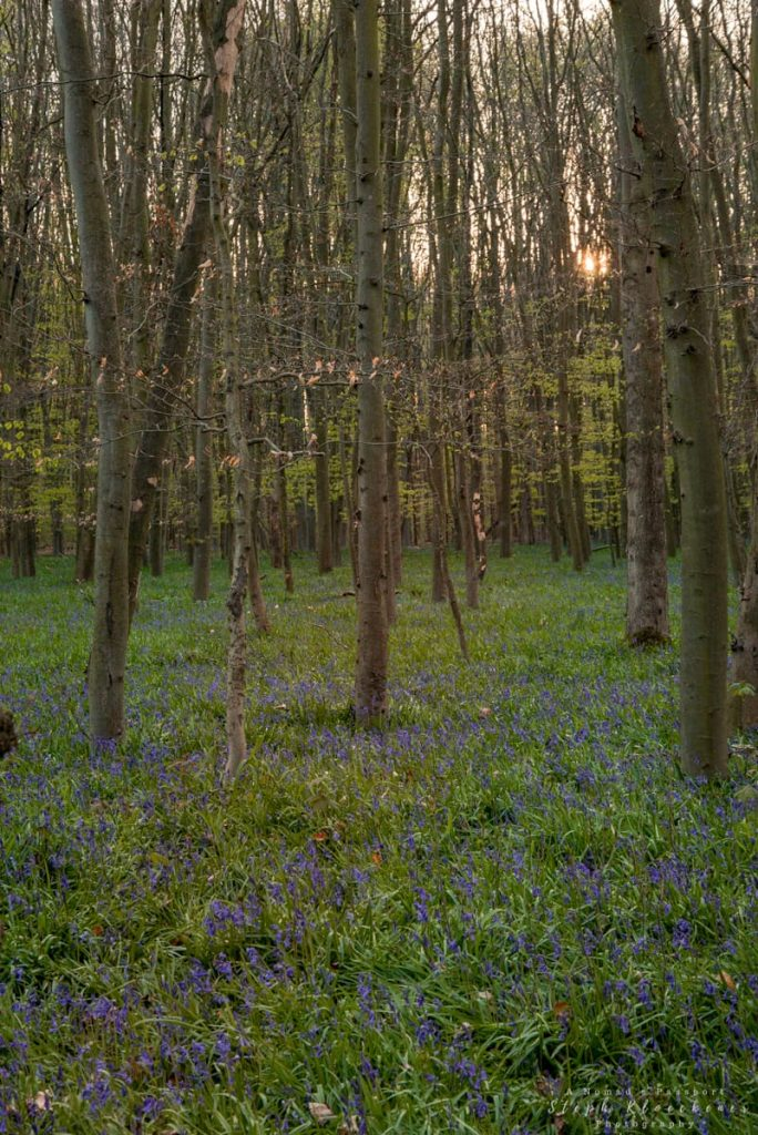 Bluebells in forest during sunset