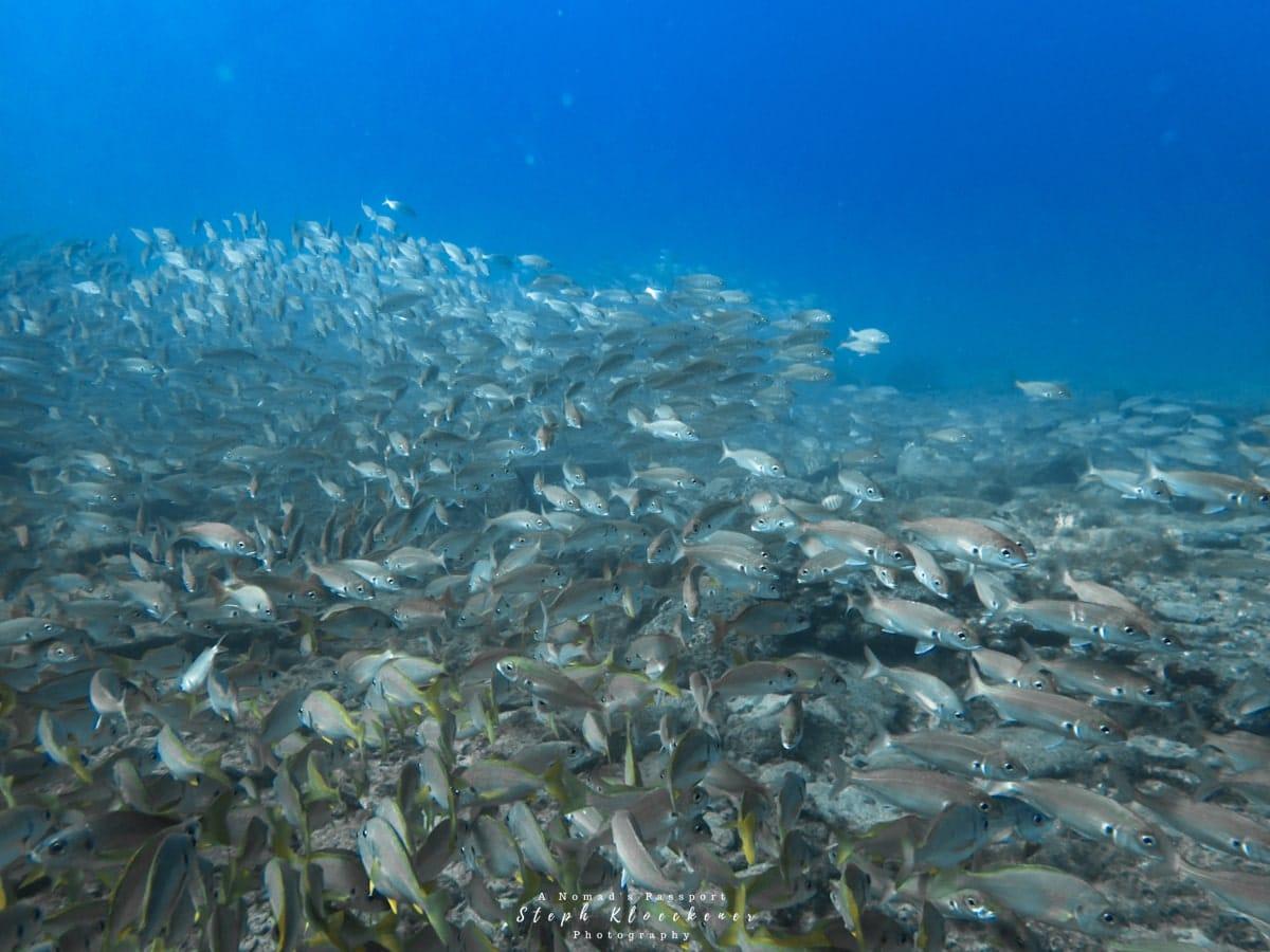 School of fish near the Cermona II wreck in Gran Canaria