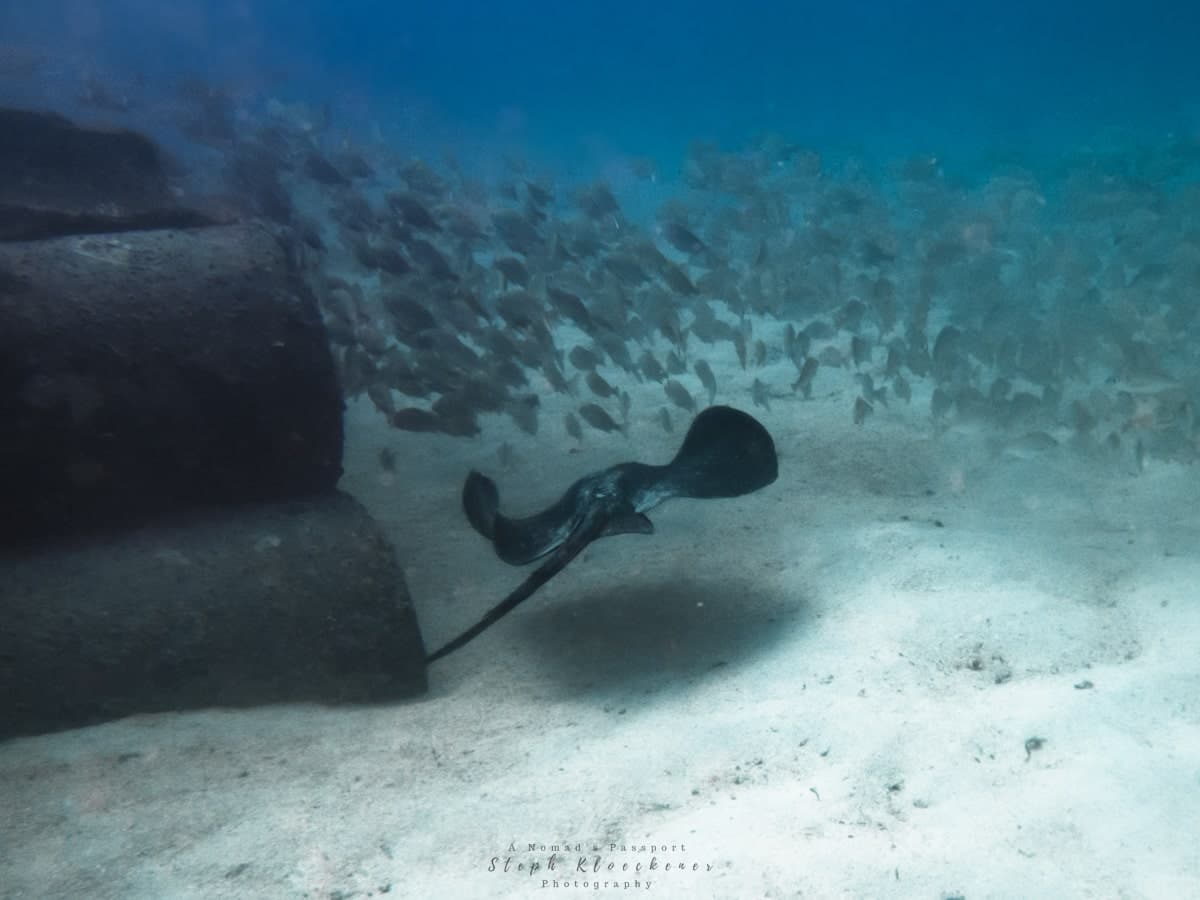 Stingray at the Pasito Artificial Reef in Gran Canaria